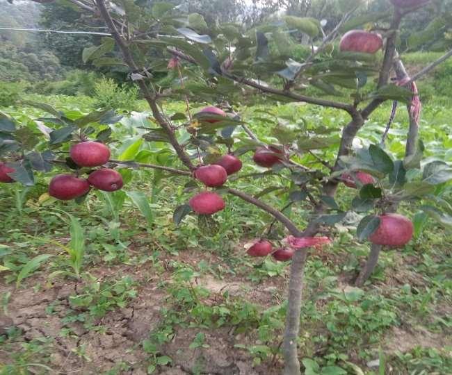उत्तराखंड: एप्पल मिशन के लाभ से वंचित छोटे बागवान, योजना की शर्तों में ढील देने की मांग