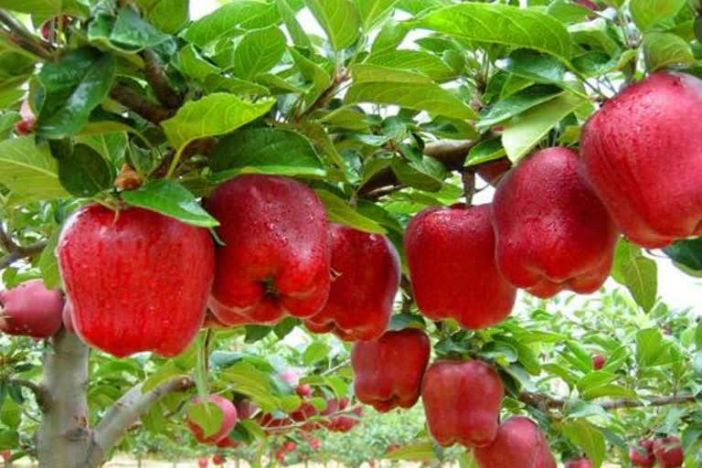 उत्तराखंड : पिथौरागढ़ सेब पट्टी बनाने के प्रयास तेज, उत्तरकाशी के सेब उत्पादकों से ली जा रही है मदद