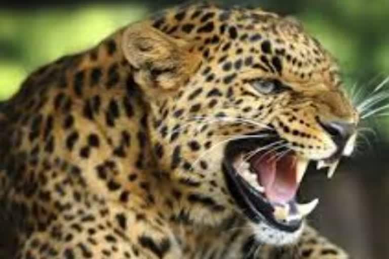 उत्तराखंड : पोखड़ा प्रखंड में बकरी चुगाने गए सूरज सिंह नेगी पर गुलदार ने हमला कर उसे घायल कर दिया