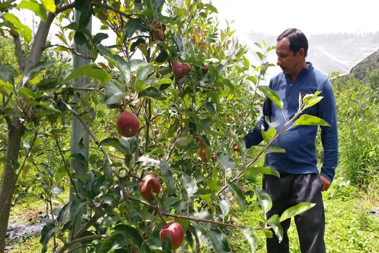 उत्तराखंड : नीदरलैंड के सेब का उत्पादन होगा नैनीताल जिले में , सिर्फ एक साल में फल देगा पेड़
