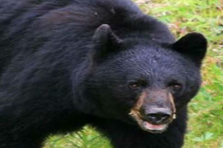 उत्तराखंड जोशीमठ : रिहायशी इलाके में भालू देखकर डरे लोग, नहीं ले रहे जिम्मेदार सुध